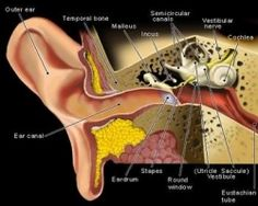 Top Home Remedies For Swimmers Ear - Natural Treatments & Cure For Swimmers Ear Cannabis, Medical Marijuana, Ear Anatomy, Throat Anatomy, Facial Anatomy, Brain Anatomy, Swimmers Ear, Human Anatomy And Physiology, Inner Ear
