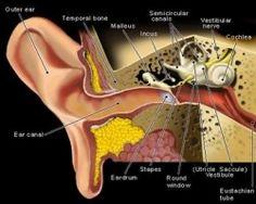 Top Home Remedies For Swimmers Ear - Natural Treatments & Cure For Swimmers Ear Ear Anatomy, Anatomy Study, Throat Anatomy, Facial Anatomy, Brain Anatomy, Medical Anatomy, Cannabis, Medical Marijuana, Swimmers Ear