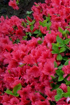 One of my favorites to see in the Spring - azaleas