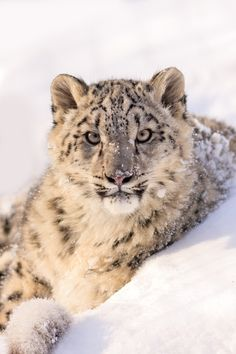 Snow Leopard by John Haig - Photo 116083075 - 500px