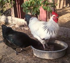 Cooling chicks in the summer-Beating the Heat #chickencoop #chickens