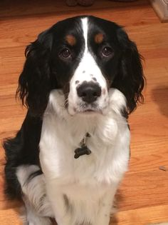 our tri colored English Springer Spaniel. What a pretty dog! English Springer Spaniel, Springer Dog, Springer Spaniel Puppies, Spaniel Dog, Horses And Dogs, Dogs And Puppies, Super Cute Animals, Adorable Animals, Beagle Colors