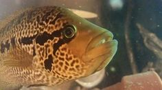 """Parachromis motaguensis -Red Tiger Motaguense male 12"""""""