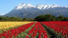 Fields of Tulips in Argentina What A Wonderful World, Beautiful World, Beautiful Places, Amazing Places, Visit Argentina, Tulip Fields, Valspar, Nature Images, Landscape Photographers