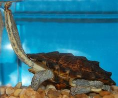 South American Snake Necked Turtle