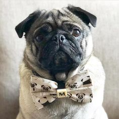 When both you and your tie nail tie on Tuesday! Photo by @milo_and_sophia_pug Want to be featured on our Instagram? Tag your photos with #thepugdiary for your chance to be featured.