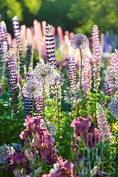 GGL222- LUPINUS POLYPHULLUS, ALLIUM AND IRIS IN COT : Asset Details -Garden World Images