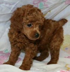 Red poodle puppy:) so perfect! Looks so much like my Linus did!