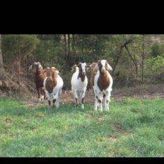 Goats on Dewberry Farm