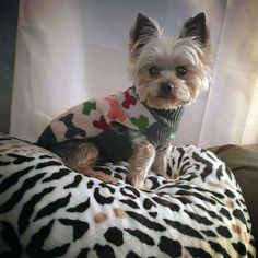 This is Gizmo. He's very sweet and lovable. Loves to eat. Likes his toys. Small Dog Breeds, Small Dogs, Yorkie Dogs, Yorkies, Cute Baby Animals, Animals And Pets, Cute Puppies, Dogs And Puppies, Silky Terrier