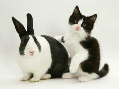 Black Dutch Rabbit with Black-And-White Kitten----Twins??