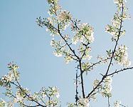 White cherry blossom branch against clear blue sky in Spring White Cherry Blossom, Cherry Tree, Cherry Cherry, Clear Blue Sky, Variety Of Fruits, Deciduous Trees, All Plants, Flower Images, Fruit Trees