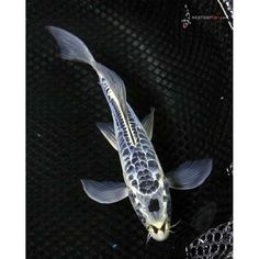 """8"""" Skeleton Shusui Butterfly Koi 1"""