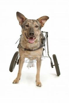 Training your dog is focused on building your relationship with your dog as well as setting up boundaries. Be firm yet consistent and you'll notice remarkable results in your dog training efforts. Puppy Training Guide, Training Your Dog, Leash Training, Diy Dog Wheelchair, Italian Greyhound Puppies, Disabled Dog, Dog Minding, Cheap Pets, Dog Accessories