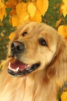 Golden Retriever Puppy Dogs