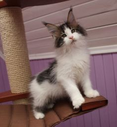 New!!!elite Maine Coon Kitten From Europe With Excellent Pedigree. Male.jamesfair in - Hoobly Classifieds