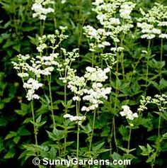 Meadowsweet (Spirea Ulmaria) - Associations: Mercury, Jupiter, Saturn, Gemini, also Bloddeuwedd, Danu - Strongly associated with Goddess worship, particularly in her Maiden aspect. Used in love magick and enchantments.