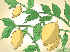 how to prune a lime tree