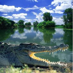 A saltwater crocodile in Arnhem Land, northern Australia: The creatures have the strongest bite of any living creatures. Reptiles Et Amphibiens, Mammals, Crocodile Marin, Saltwater Crocodile, Australian Animals, Mundo Animal, Alligators, Lake Life, Fauna