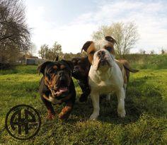 AP Hagazussa (12 Month Canneo English Bulldog) and AP Rush ( 6 Month Continental Bulldog) in April 2016  www.asgards-pride.com Continental Bulldog, Bulldog Breeds, Old English Bulldog, Bull Dog, Big Dogs, Pride, Babies, Pets, Animals
