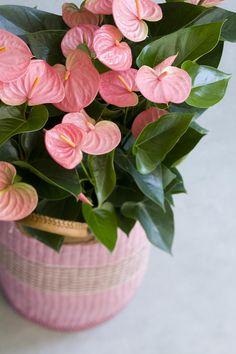 Anthurium roze