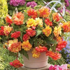 Begonia 'Golden Wave' Novelty Begonia - Each petal is edged in a different colour with no two blooms alike. Perect for your containers in shade or partial shade.