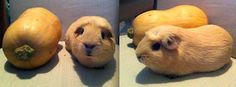 The guinea pig that might actually be a squash