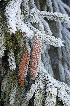 """Fir cones in cold winter with snow. Click here to purchase a poster, print or canvas print: <a href=""""http://matthias-hauser.artistwebsites.com/featured/fir-cones-in-winter-matthias-hauser.html"""" rel=""""nofollow"""" target=""""_blank"""">matthias-hauser.a...</a> Watermark will not appear on final product. 30 days money back guarantee. (c) Matthias Hauser <a href=""""http://hauserfoto.com"""" rel=""""nofollow"""" target=""""_blank"""">hauserfoto.com</a>"""