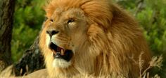 The lion is the king of the beasts. The fact is there really isn't much to lions beyond Sovereignty. The lion, gr. Lion Hd Wallpaper, Animal Wallpaper, Wallpaper Gallery, Room Wallpaper, Nature Wallpaper, Lion Hunting, Lion Photography, The Lion Sleeps Tonight, Les Fables