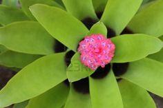 Plantas de bromelias para decorar diversos lugares. Son hermosos. Foto de archivo