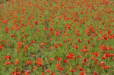 red-poppy-field-france