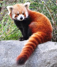Red Panda Cute Animals, Love Little Animals. Best of swety animal pictures Pretty Animals, Cute Funny Animals, Cute Baby Animals, Animals Beautiful, Funny Cats, Animal Pictures For Kids, Cute Animal Videos, Funny Animal Pictures, Photo Panda