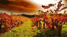 LUSCIOUS TRAVEL: A luxury mini break in Adelaide and the Barossa Valley including stylish accommodation, activities, food and wine. South Australia, Australia Travel, Clare Valley, Australian Holidays, Vintage Festival, Wine Tourism, Cultural Experience, Wine Country, Country Charm