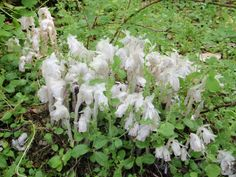"""Submitted by Suzy Qs to the 2012 myPQB Story Contest: """"Indian Pipe on Qualicum Beach walking trail. Blooming Flowers, Vancouver Island, Native Plants, Wildflowers, British Columbia, Nativity, North America, Canada, Indian"""