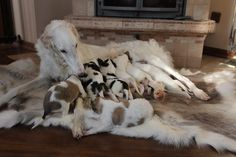 Borzoi Puppies | Cute Puppies & Dog Breeds