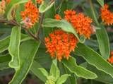 Which Perennials to Prune in the Spring?: Butterfly weed (Asclepias tuberosa) is one of the last plants to emerge in the spring and, like balloon flower, the standing foliage serves as a marker. Butterfly Garden Plants, Butterfly Weed, Butterflies, Star Butterfly, Best Perennials, Flowers Perennials, Clay Soil Plants, Bog Plants, House Plants