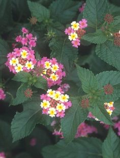 Lantana camara 'Ham and Eggs'
