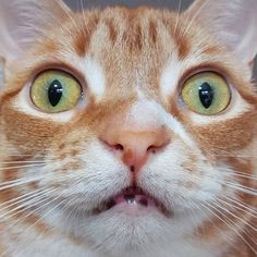 Like puppies, bunnies, babies, and so on. A place for really cute pictures and videos! I Love Cats, Big Cats, Cute Cats, Crazy Cat Lady, Crazy Cats, Shocked Cat, Grumpy Cat, Animal Rescue Shelters, Cat Memes