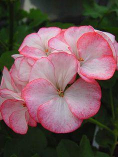 Geranium 'Yvonne' Pelargonium