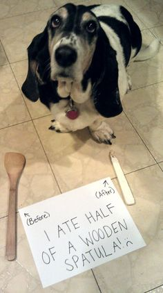 More dog shaming. Bassets do what they want and we love them for it!!