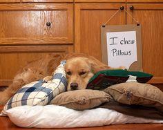 """I chew pillows"" (who doesn't?)~ Dog Shaming shame - Golden Retriever"