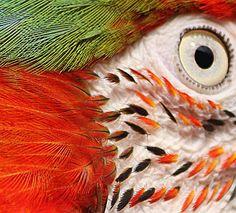 Macaw parrot macro.