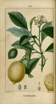 img/dessins-gravures de plantes medicinales/citronnier - citron.jpg