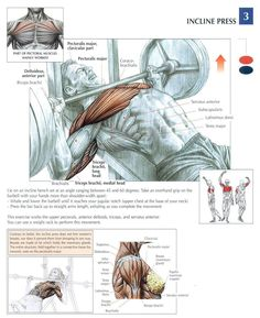 There are many body building exercises out there, one only needs to visit the local gym or fitness center and look at all the different varieties of exercises being done. Chest Workouts, Gym Workouts, Swimming Workouts, Swimming Tips, Nutrition Sportive, Academia Fitness, Muscle Anatomy, Bodybuilding Workouts, Powerlifting