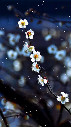 Plum blossom #iPhone #5s #Wallpaper Download | Enjoy the beauty in the cold season .