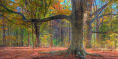 Beeches: Your new favorite tree.   31 Beech Tree Forests To See Before You Die