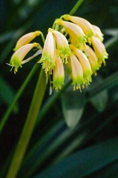Clivia gardenii, Pink 13.  Colorado Clivia's plant number 625.