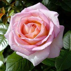 ROSIER TIGE 'ELLE®' MEIBDEROS - Le rosier feminin par excellence: coloré et parfumé.