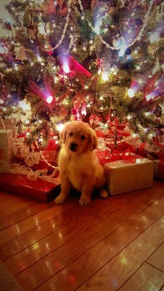 Golden puppy More Dog Christmas Pictures, Christmas Puppy, Christmas Animals, Christmas Cats, Xmas, Cute Dogs And Puppies, I Love Dogs, Doggies, Cute Baby Animals