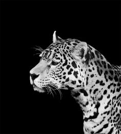 Shadow Animals - Leopard